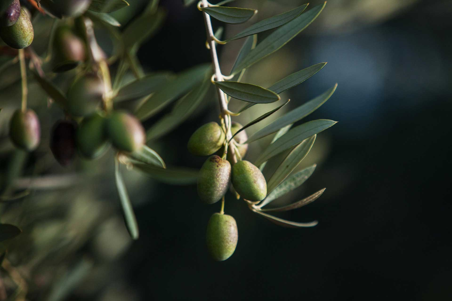 El Olivar Aceites Varietales Zuccardi